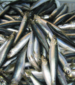 Atlantic herring, Clupea harengus. Photo: NOAA/ Fishwatch.