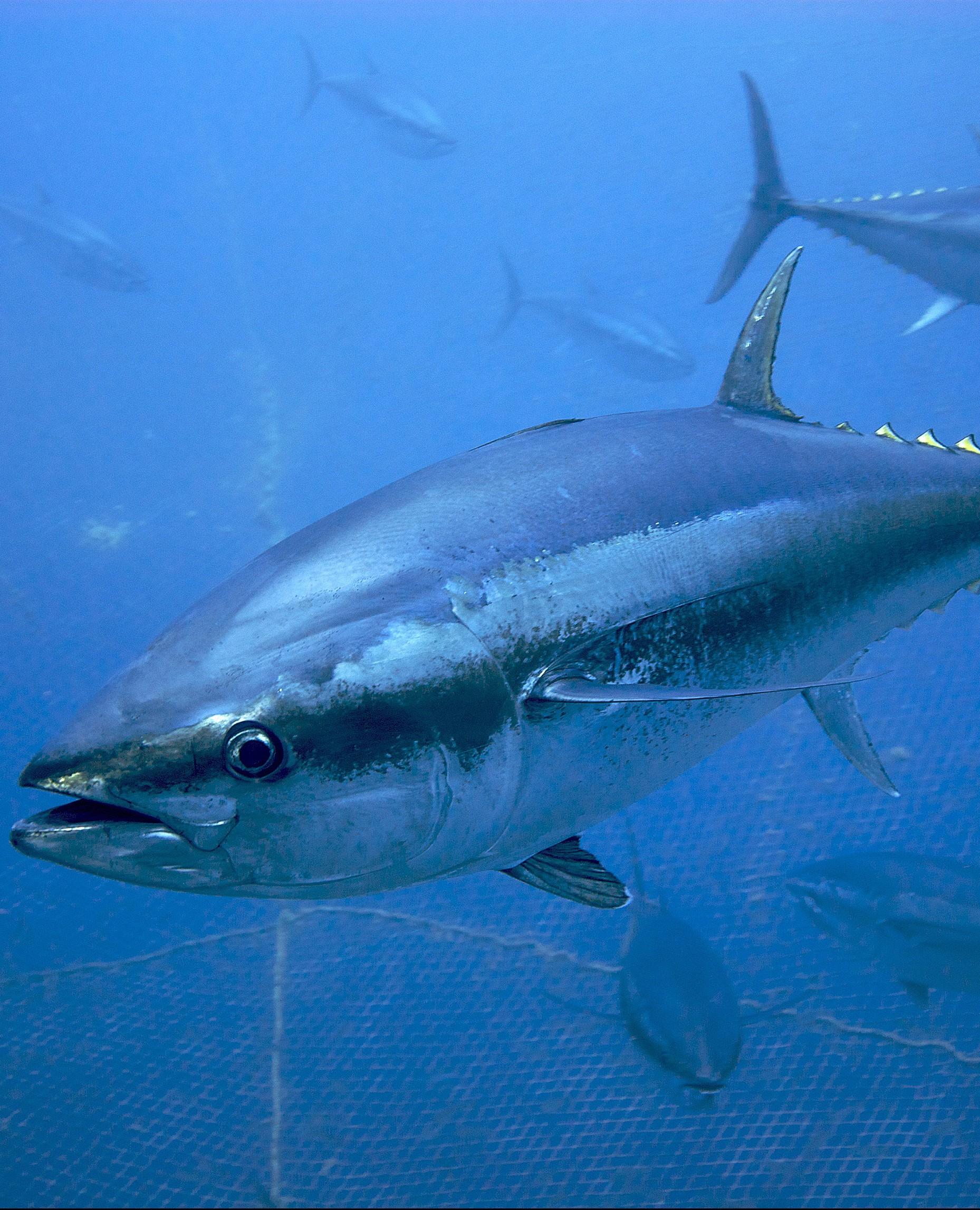 Bluefin tuna 2015 fishing season kicks off with 20 quota for Tuna fishing season