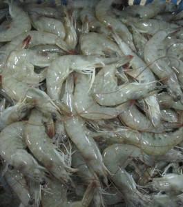 case study shrimp farming in ecuador Ecuador el salvador  economic issues in promoting sustainable shrimp farming: a case study of the rice shrimp system in  economics of shrimp farming in.