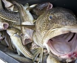 Eastern Baltic cod fisheries lose MSC approval ...