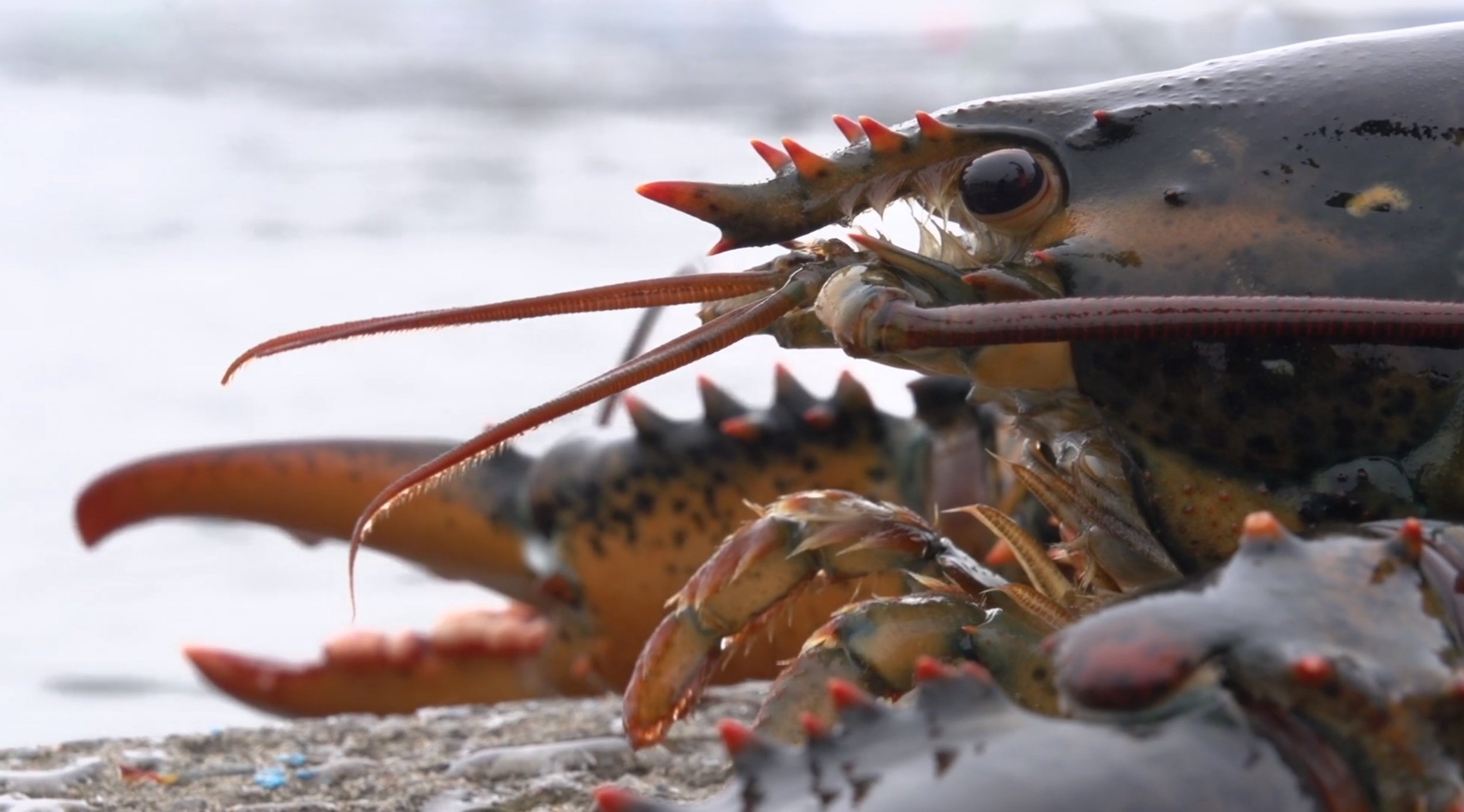 how to cook canadian lobster
